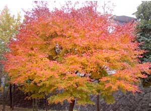 紅葉きれい