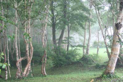 霧の中の白樺
